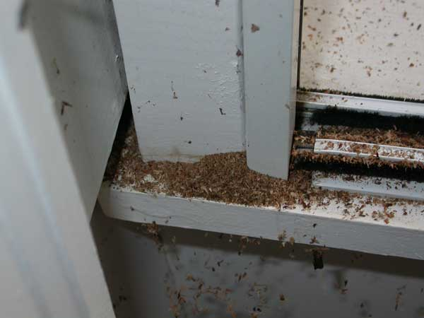 Carpenter Ants Sawdust Piles ~ Termite vs carpenter ant frass pictures to pin on